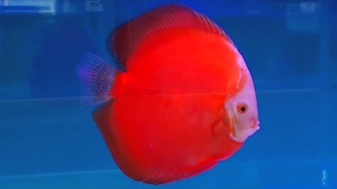 Discus Fish Red Passion - YouTube