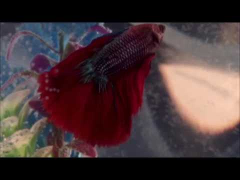 A Song For My Betta Fish That Died
