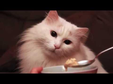 Living with Turkish Van cats #4