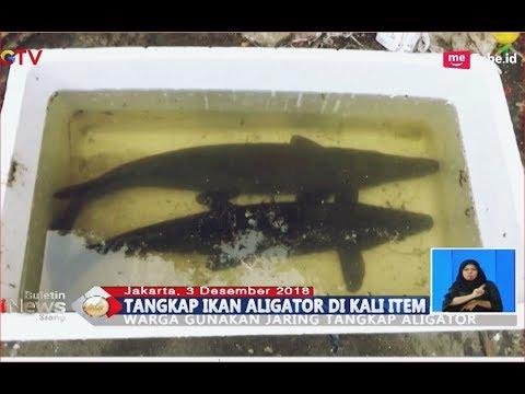 Asyik Mancing, Warga Tangkap 2 Ekor Ikan Aligator di Kali Item - BIS 03/12