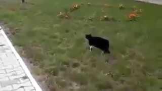 Кот гоняет собаку )))),смотреть всем!! Cats very funny