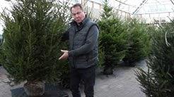Puutarhurisi suosittelee: valitse paakullinen joulukuusi