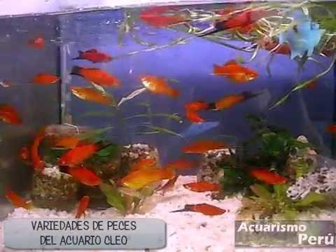 Variedades de peces del acuario cleo visita de acuarismo for Variedad de peces