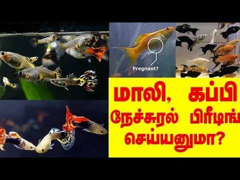 Molly fish and guppy fish Natural breeding Tamil