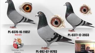 Porady hodowlane: nadmierne stosowanie probiotyków i antybiotyków a naturalne zdrowie gołębi.