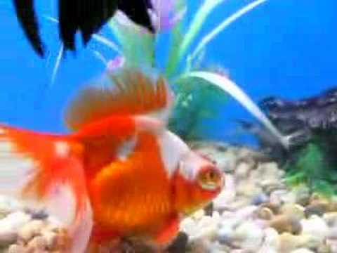 Show Quality For Sale Goldfish
