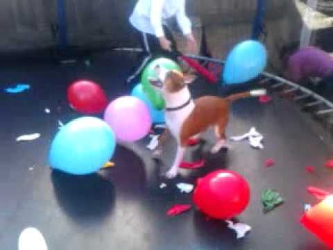 My dog popping balloons on a trampoline