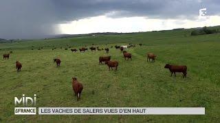 VUE D'EN HAUT : Les vaches de Salers