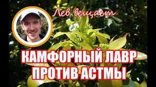КАМФОРНЫЙ ЛАВР ПРОТИВ АСТМЫ. АБХАЗИЯ