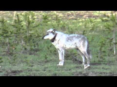Yellowstone wolf 755
