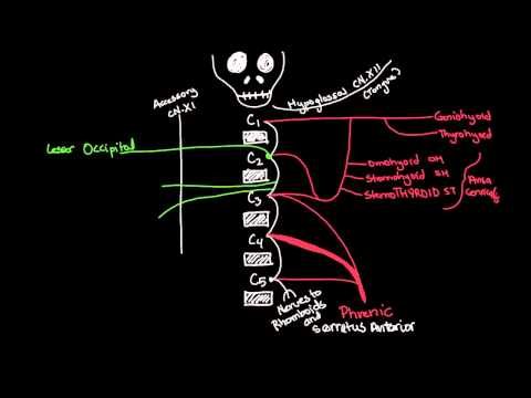 Cervical Plexus Drawing and Spinal Segments - EASY