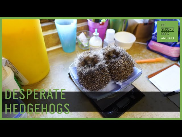 Saving Sick, Desperate Hedgehogs | Prickles and Paws