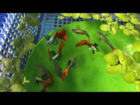 Mấu Chốt Cực Kỳ Quan Trọng Trong Quá Trình Nuôi Cá 7 Màu Mà Mọi Người Thường Không Biết Hoặc Bỏ Qua