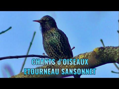 Chants d'oiseaux - Chant de l' étourneau sansonnet