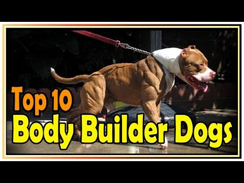 Top 10 Body Builder Dogs !! Top 10 muscular dog breeds In the World