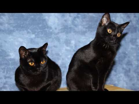 Bombay / Cat Breed