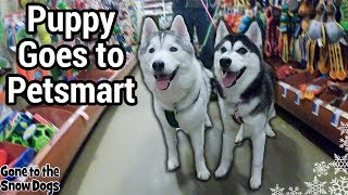 Husky Puppy First Shopping Spree   Petsmart Halloween Haul