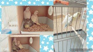 Muhabbet Kuşları Yeni Aldığımız japones Damızlıklar