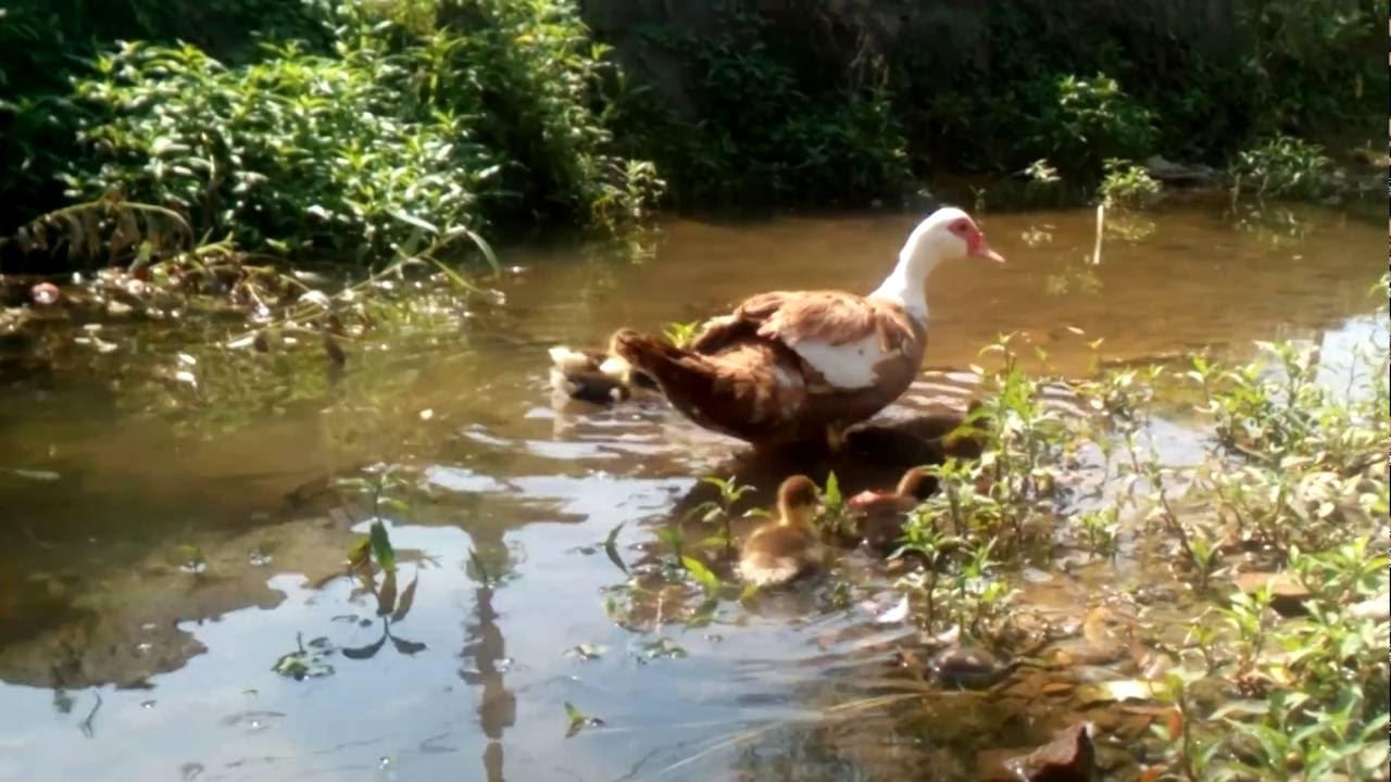 Плывет утка по воде - YouTube