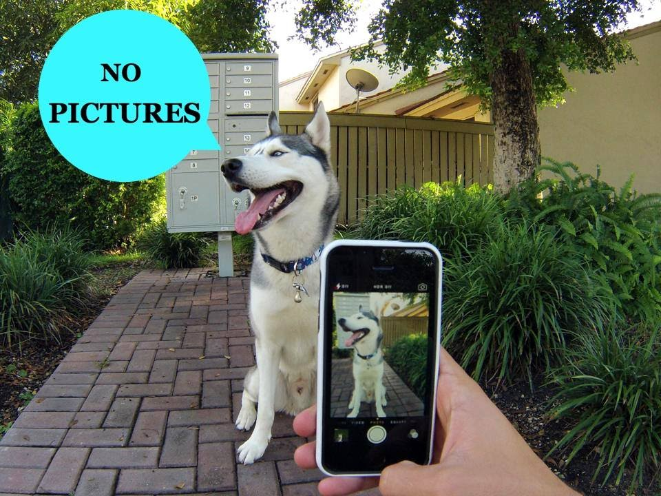 Husky Doesn't Like Taking Pictures! (Funny)