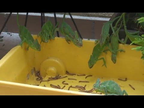 Chameleons eating with Yoshi sounds