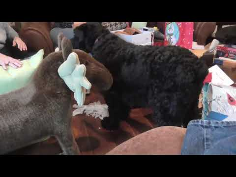 Giant Schnauzer, ripping it up
