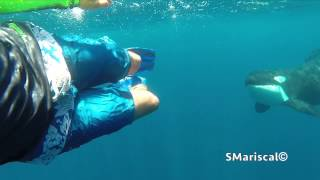 Swimming with wild Orcas in the sea of Cortes