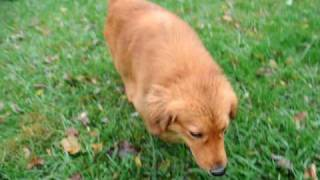 Rescue Dog - Adopted!  Stewie, Golden Retriever, Chow, Setter Mix?  Available