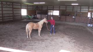 Collaborative Colt Start with Shelby Cheyenne & Colton Woods | Starting Reining Prospect Undersaddle