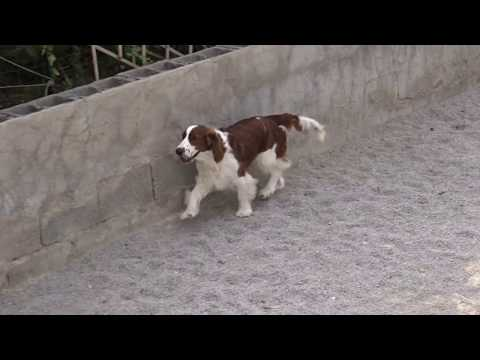 Welsh Springer Spaniel Storm playing in the garden 23-04-2018