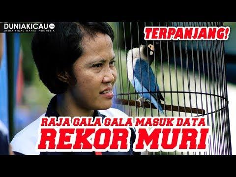 PANJANG!!! Love Bird RAJA GALA GALA Masuk Data REKOR MURI!