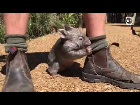 This Wombat thinks he's a dog