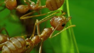 How Ants Are Used For Agriculture in Thailand | BBC Earth