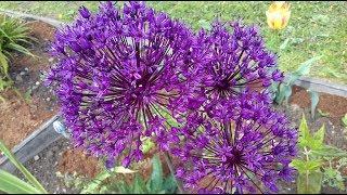 Декоративный лук – посадка и весенний уход