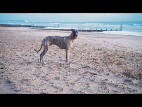 Whippet Full Speed On The Beach