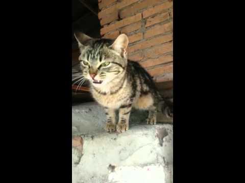gatto miao miao