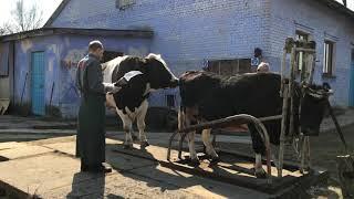 Взятие спермы у быка