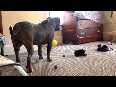Kitten sees a 100 lb pitbull for the first time, Manny Der APBT