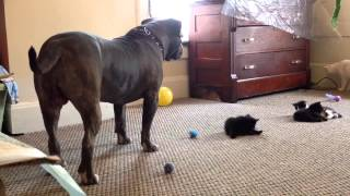Kitten Meets a Pitbull For The First Time