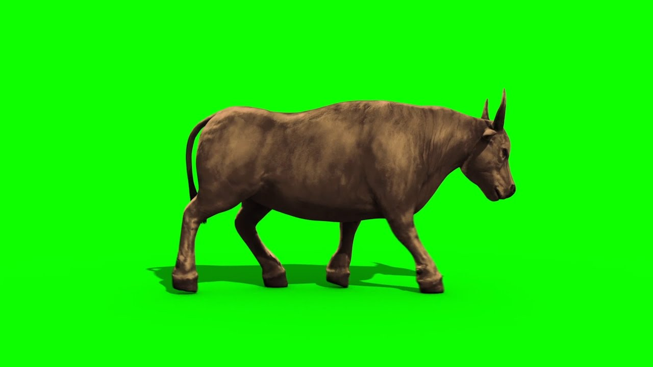 Green Screen Bull Dark Haired And Light Walking Footage