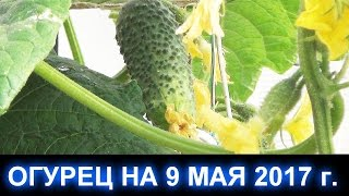видео Ранний урожай огурцов