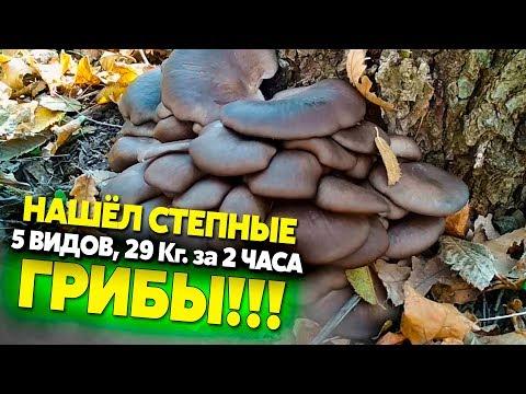 Собираем степные грибы, новый рекорд 29 кг.! Вешенка, шампиньоны, синеножка, говорушка, зонтики
