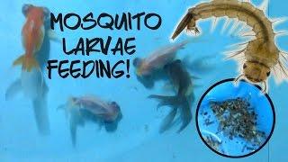 telescope goldfish devouring LIVE mosquito larvae!
