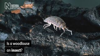 Is a woodlouse an insect? | Natural History Museum