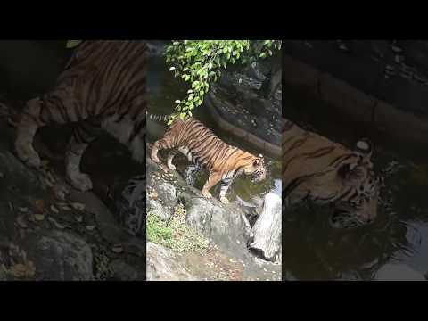 Thailand Tiger zoo