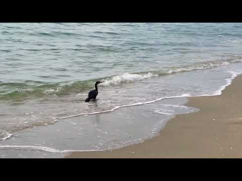 Great footage of Cormorant bird fishing under water in Hollywood Beach, FL