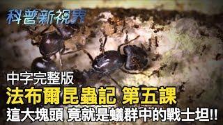 激昂的生命 | 身體比同伴大近500倍的兵蟻,在掠食時往往擔任最後致命攻擊的角色!!【法布爾昆蟲記 第五課】全片線上看
