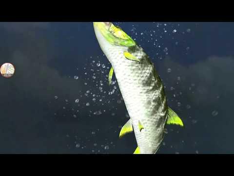 Rare Big Fish Patterned Goliath Patternfish Catch Gameplay 1 Fishing Strike