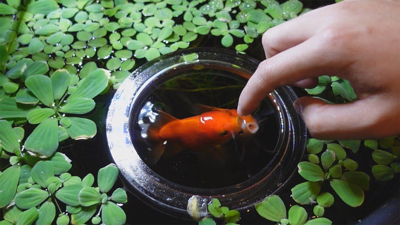 Feeding My Pet Goldfish | Indoor MINI Pond