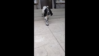 Neighbors Watch Spotted Field Spaniel Puppy Trot & Wiggle In Yard